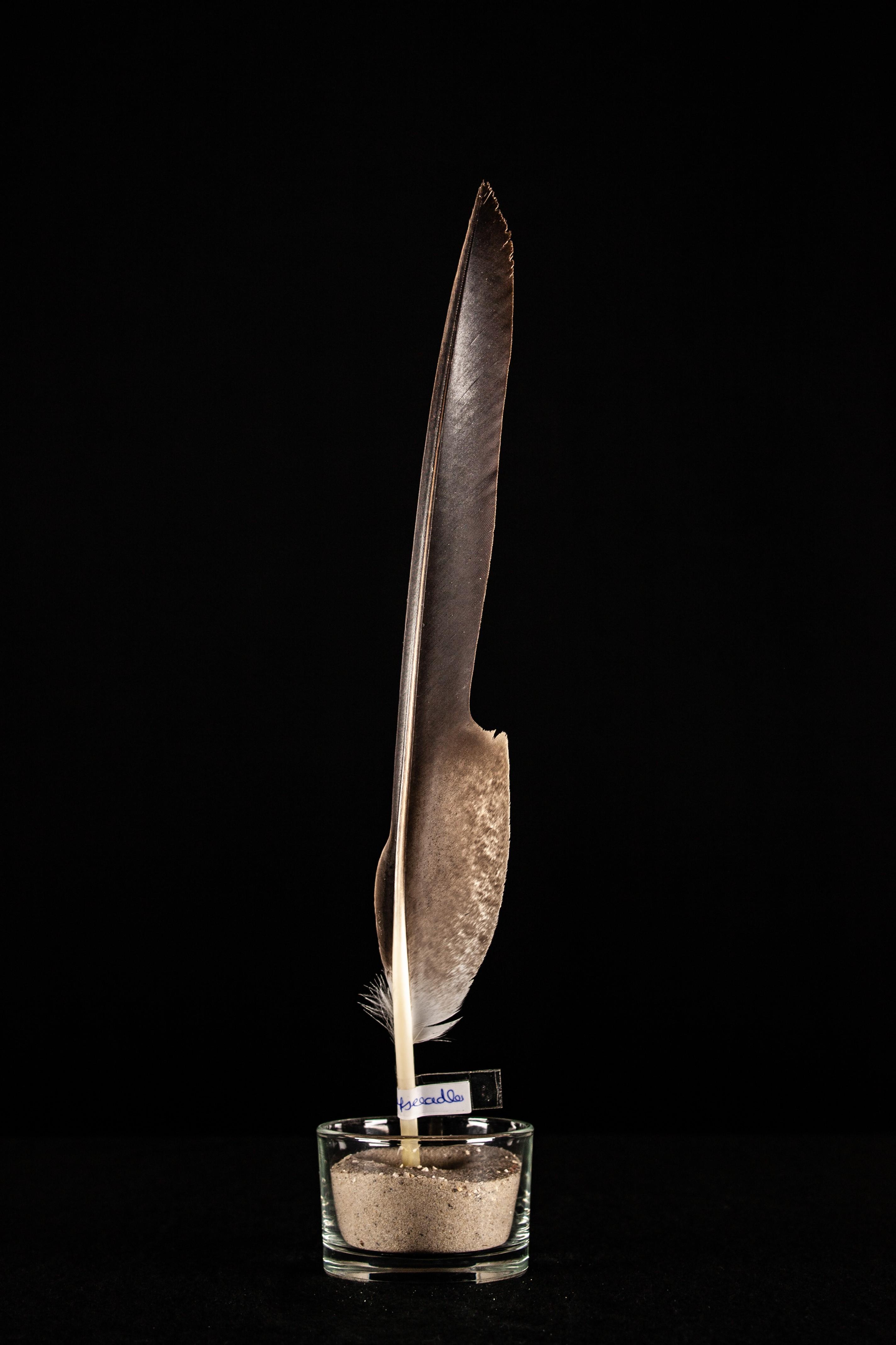 Feder - Weißkopfseeadler